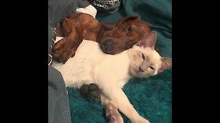 Cute dog and cat preciously cuddle together