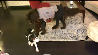 Puppy fears toy dog but not giant Newfie buddy