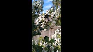 Bumble Bee Working Overtime.