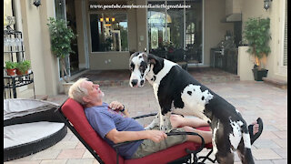 Affectionate Great Dane Wants To Ride The Recliner With His Dad