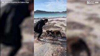Instant de tendresse entre une maman kangourou et son petit