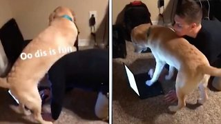 Attention seeking labrador interrupts owners during work hours
