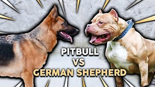 German Shephard Attacks Pitbull!!! Who won?
