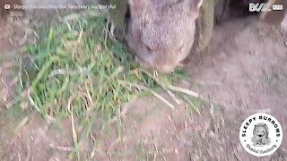 Wombat s'innervosisce quando qualcuno si avvicina al suo cibo