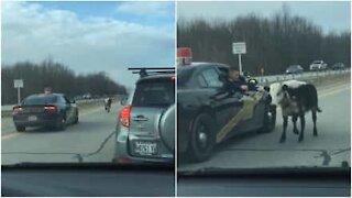 Politiet jakter på en løs ku på en motorvei