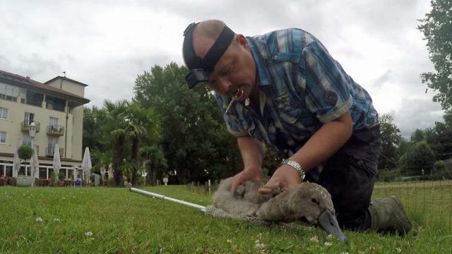 Mens svanemor angriper redder Stefan ungen fra kvelningsdøden