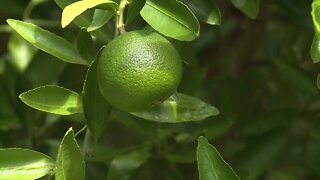 Citrus greening 'cure' from California could be key to revitalizing Florida's soured industry