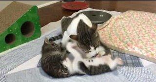 Cette maman chat toilette ses petits