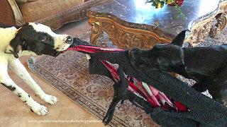 Harlequin Puppy Pulls Great Dane On A Blanket