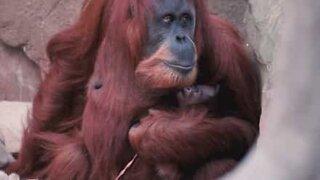 Denne orangutangen er en veldig stolt mamma