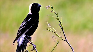 Bobolink is a strikingly beautiful bird with a very unique song