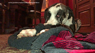 Sleepy Great Dane Loves To Cuddle With His Blanket
