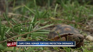 Gopher Tortoise could be added to protective ordinance in Cape Coral