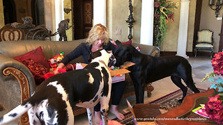 Excited Great Danes and Cat Open Gifts From Fairy Godmother