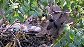Eagles share a meal while they guard their eggs in the nest
