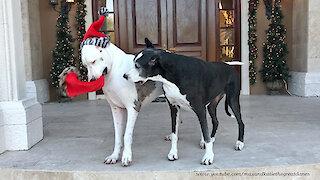 Deaf Great Dane swipes friend's Christmas hat
