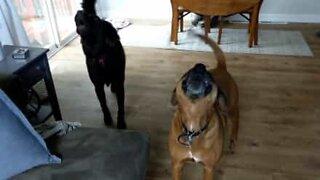 Cães uivam sempre que ouvem o alarme dos tornados
