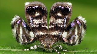 Metalmark Moth mimics jumping spider predator