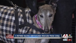 Greyhounds rescued from China arrive in Kansas City