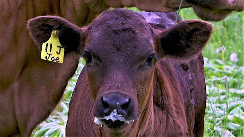 Young calf has the most adorable milk moustache ever