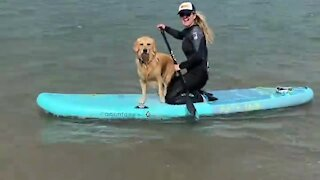 Doggy enjoys board surfing with his owner