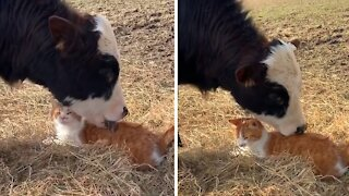 Cow and cat friendship is an unbreakable bond
