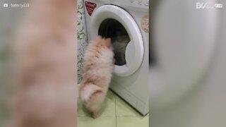 Un petit chien fasciné par la machine à laver