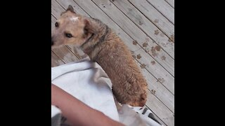 Adorable dog pushes his butt up to towel to dry off