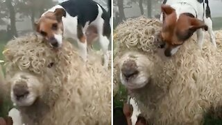Amazing animal friendships: Dog and sheep are inseparable