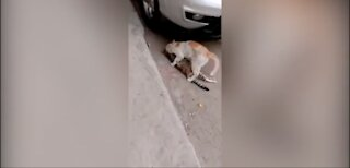 Heartbreaking moment.. cat refuses to leave his dead friend behind by dragging his lifeless body
