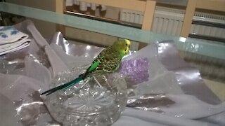 Canary walks around the house
