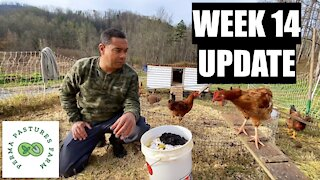 Week 14 Update: Chicken Tractor On Steroids w/ Meat Birds