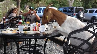 These Goats will Make you LOL