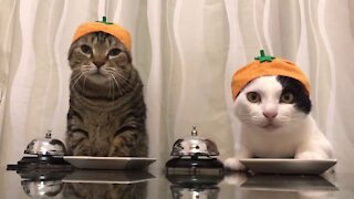 Funny Cats with Orange Hats