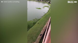 Raccoon only just escapes crocodile attack!