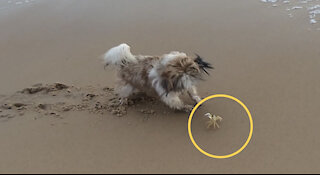 Epic fight between dog and crab