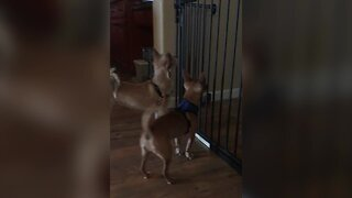 Dog Knows how to Open Gate