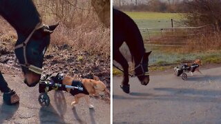 Paraplegic dog meets friendly horse, instantly become buddies