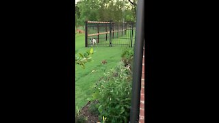 Rabbit Pays Dog No Attention!