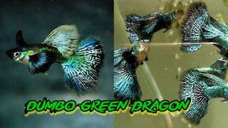 The Best Dumbo Green Dragon Guppy 2021