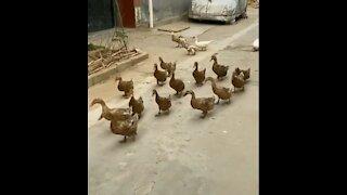 A group of ducks go home