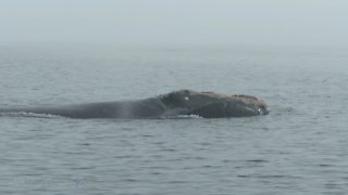 Incredibly rare encounter with North Atlantic Right Whale