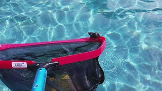 Man saves tiny mouse from drowning in swimming pool