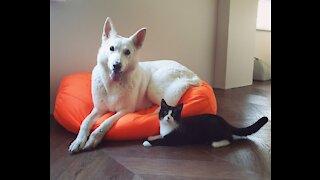 White Shepherd Playing With Kitty