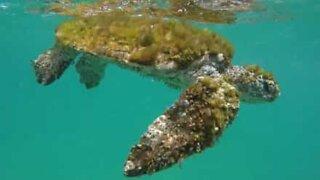 Syk skilpadde blir reddet fra havet av stående paddler