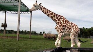 Giraffes surround car, delighting tourists on safari