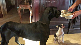 Great Dane and 7 Week Old Puppy Are Excited To Eat Together