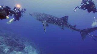 Fearless whale shark approaches scuba divers