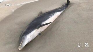 FWC looking for people responsible for shooting Dolphins