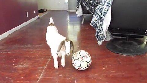 1-week-old goat shows off adorable soccer skills
